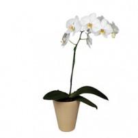 Orquidea Phalaenopsis - Mexico
