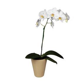 Orquidea Phalaenopsis En Saltillo Mexico Florerias